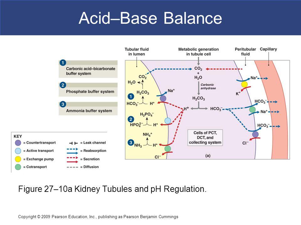 Copyright © 2009 Pearson Education, Inc., publishing as Pearson Benjamin Cummings Acid–Base Balance Figure 27–10a Kidney Tubules and pH Regulation.