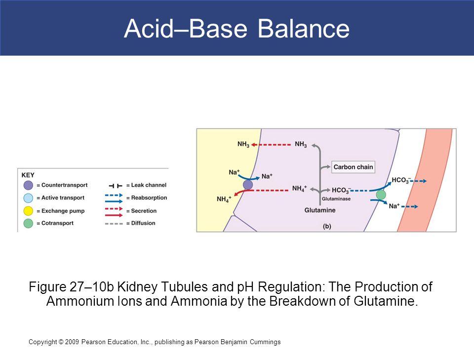 Copyright © 2009 Pearson Education, Inc., publishing as Pearson Benjamin Cummings Acid–Base Balance Figure 27–10b Kidney Tubules and pH Regulation: Th