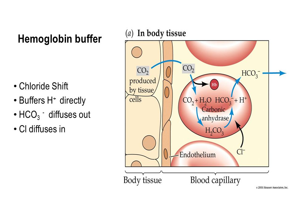 Hemoglobin buffer Chloride Shift Buffers H + directly HCO 3 - diffuses out Cl diffuses in