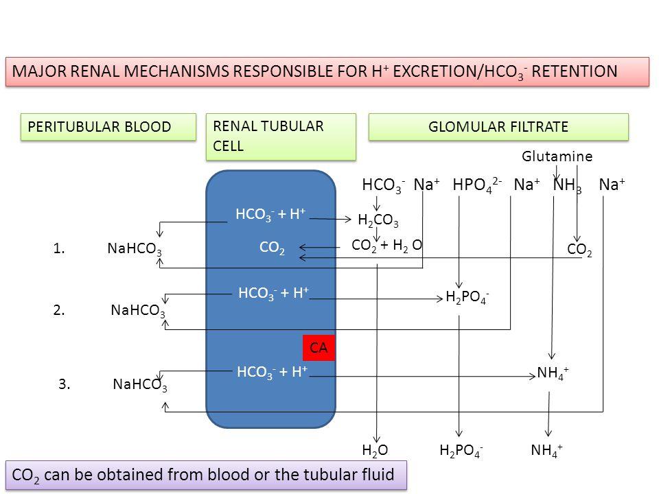 PERITUBULAR BLOOD RENAL TUBULAR CELL GLOMULAR FILTRATE HCO 3 - + H + CO 2 HCO 3 - + H + HCO 3 - + H + HCO 3 - Na + HPO 4 2- Na + NH 3 Na + H 2 CO 3 CO