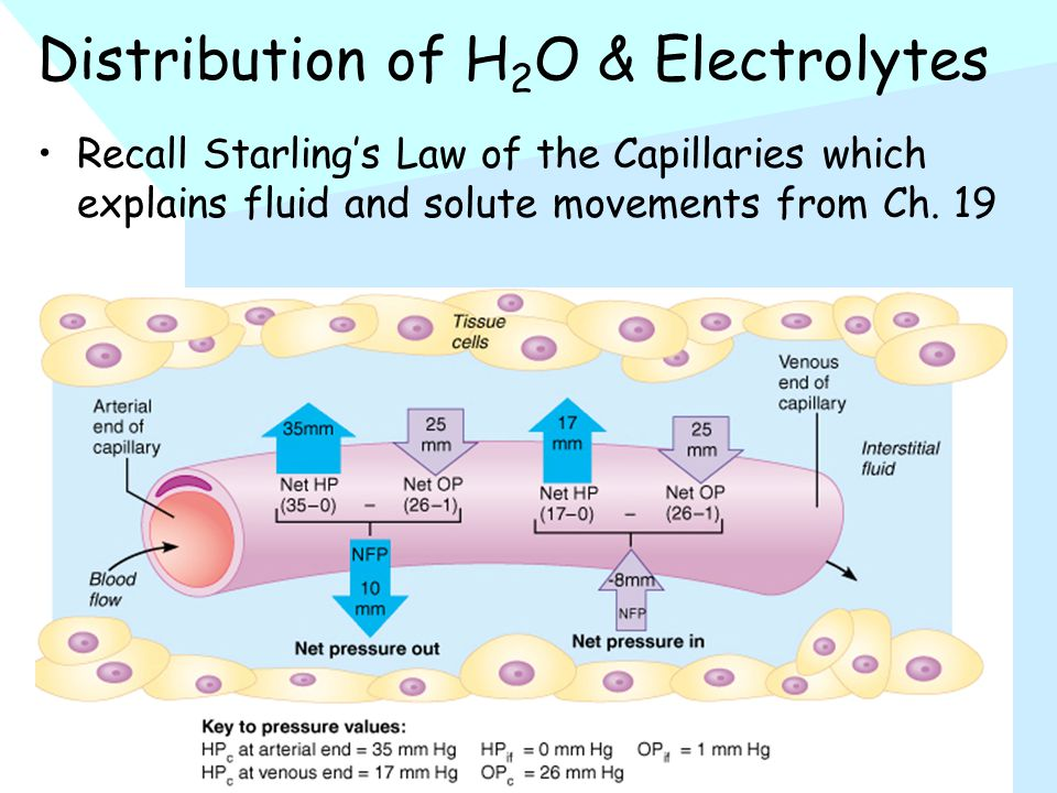 Distribution of H 2 O & Electrolytes Recall Starling's Law of the Capillaries which explains fluid and solute movements from Ch.