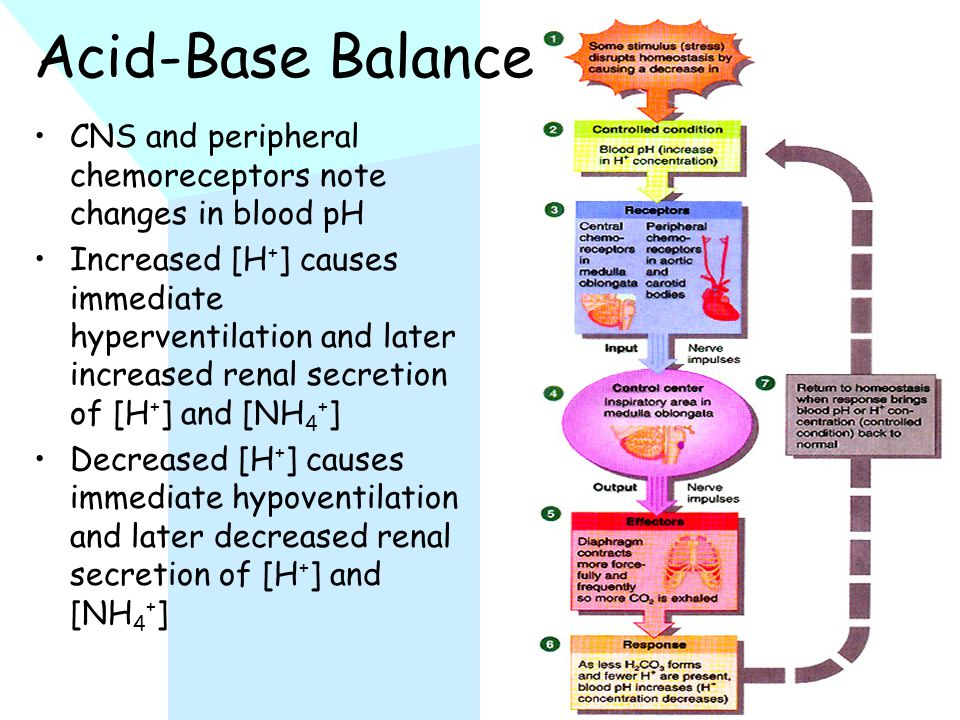 Acid-Base Balance CNS and peripheral chemoreceptors note changes in blood pH Increased [H + ] causes immediate hyperventilation and later increased renal secretion of [H + ] and [NH 4 + ] Decreased [H + ] causes immediate hypoventilation and later decreased renal secretion of [H + ] and [NH 4 + ]