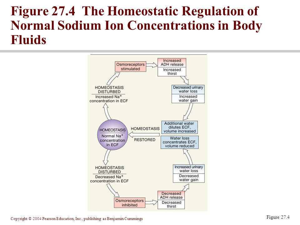 Copyright © 2004 Pearson Education, Inc., publishing as Benjamin Cummings Figure 27.4 Figure 27.4 The Homeostatic Regulation of Normal Sodium Ion Conc