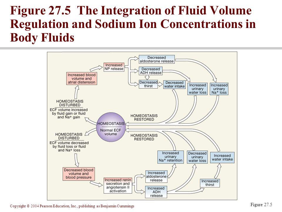 Copyright © 2004 Pearson Education, Inc., publishing as Benjamin Cummings Figure 27.5 Figure 27.5 The Integration of Fluid Volume Regulation and Sodiu