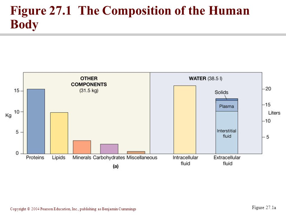 Copyright © 2004 Pearson Education, Inc., publishing as Benjamin Cummings Figure 27.1a Figure 27.1 The Composition of the Human Body