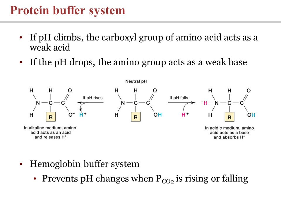 If pH climbs, the carboxyl group of amino acid acts as a weak acid If the pH drops, the amino group acts as a weak base Hemoglobin buffer system Prevents pH changes when P CO2 is rising or falling Protein buffer system