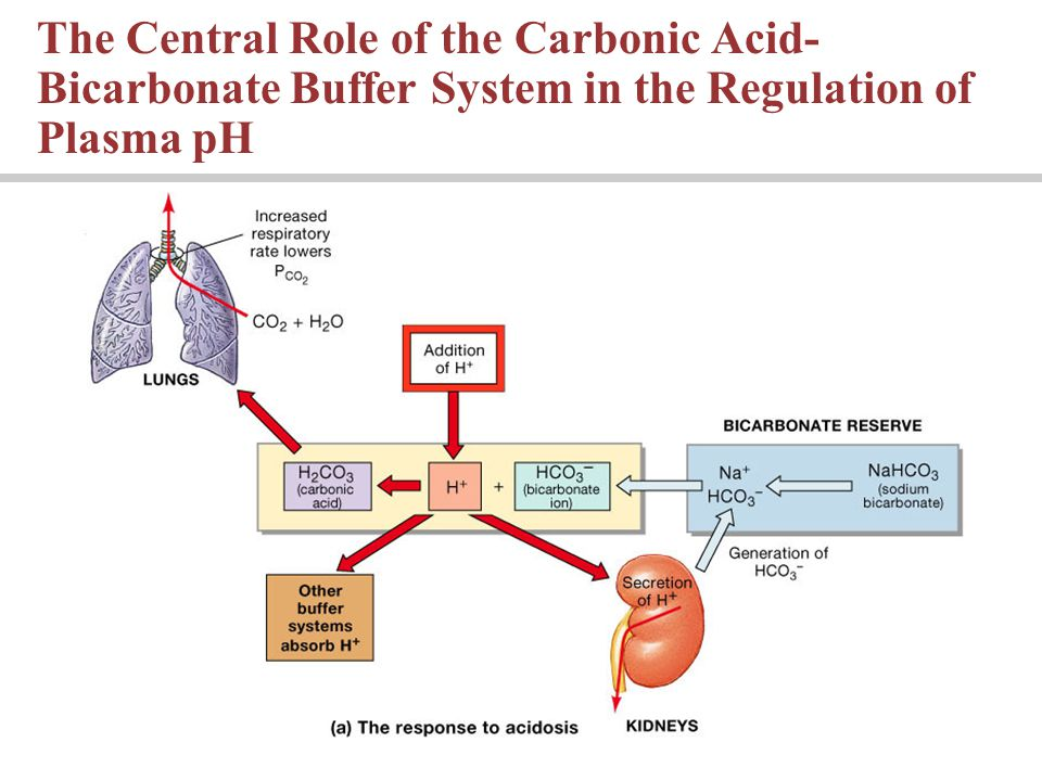 The Central Role of the Carbonic Acid- Bicarbonate Buffer System in the Regulation of Plasma pH