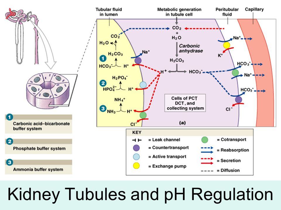 Kidney Tubules and pH Regulation