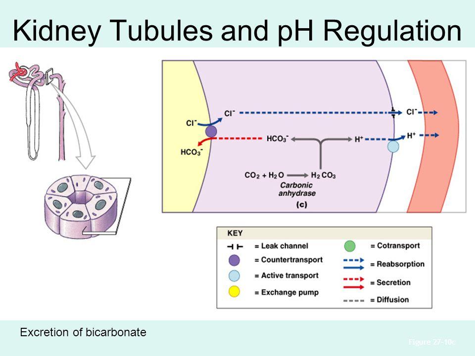 Kidney Tubules and pH Regulation Figure 27–10c Excretion of bicarbonate