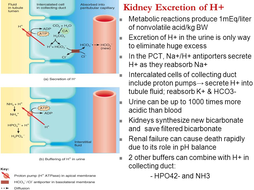 Kidney Excretion of H+ Metabolic reactions produce 1mEq/liter of nonvolatile acid/kg BW Excretion of H+ in the urine is only way to eliminate huge exc