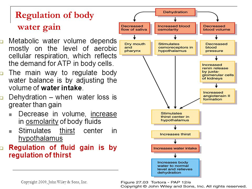 Regulation of body water gain  Metabolic water volume depends mostly on the level of aerobic cellular respiration, which reflects the demand for ATP