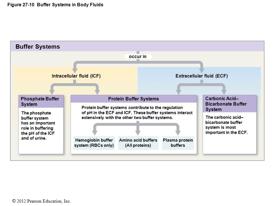 © 2012 Pearson Education, Inc. Figure 27-10 Buffer Systems in Body Fluids Buffer Systems Intracellular fluid (ICF) Phosphate Buffer System Protein Buf