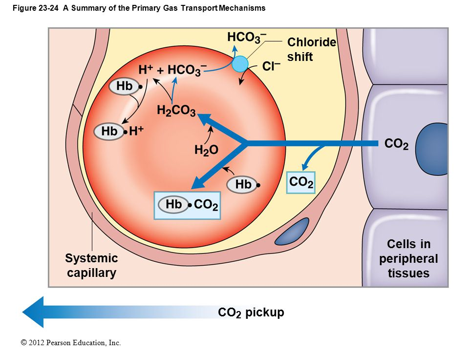© 2012 Pearson Education, Inc. Figure 23-24 A Summary of the Primary Gas Transport Mechanisms Systemic capillary Cells in peripheral tissues Chloride