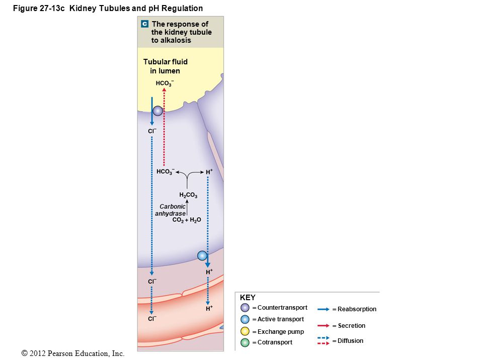 © 2012 Pearson Education, Inc. Figure 27-13c Kidney Tubules and pH Regulation KEY  Countertransport  Active transport  Exchange pump  Cotransport