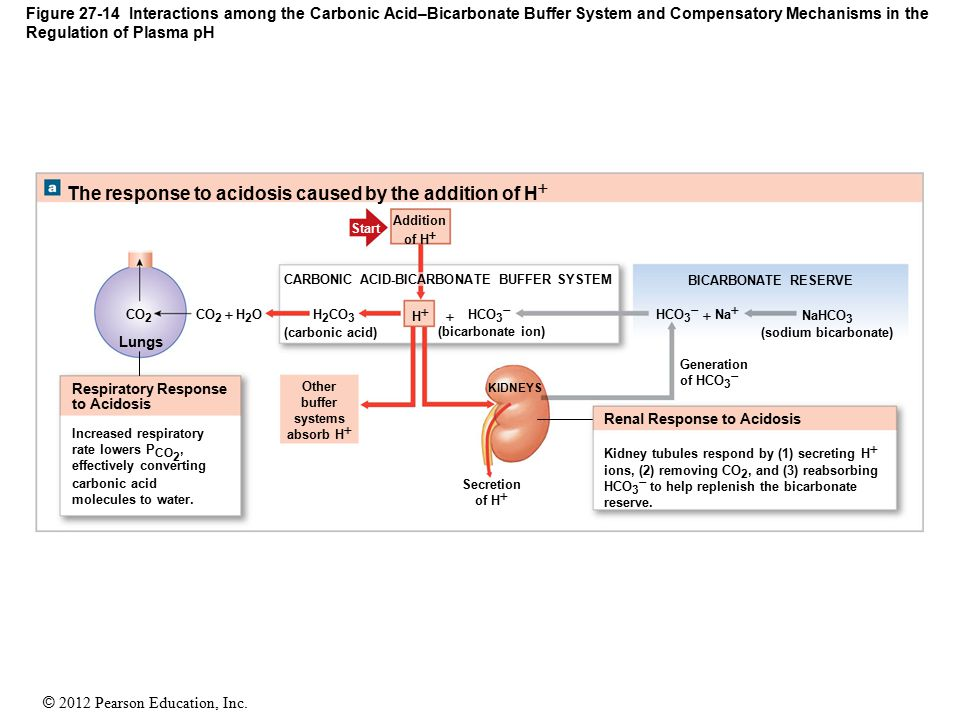 © 2012 Pearson Education, Inc. Figure 27-14 Interactions among the Carbonic Acid–Bicarbonate Buffer System and Compensatory Mechanisms in the Regulati
