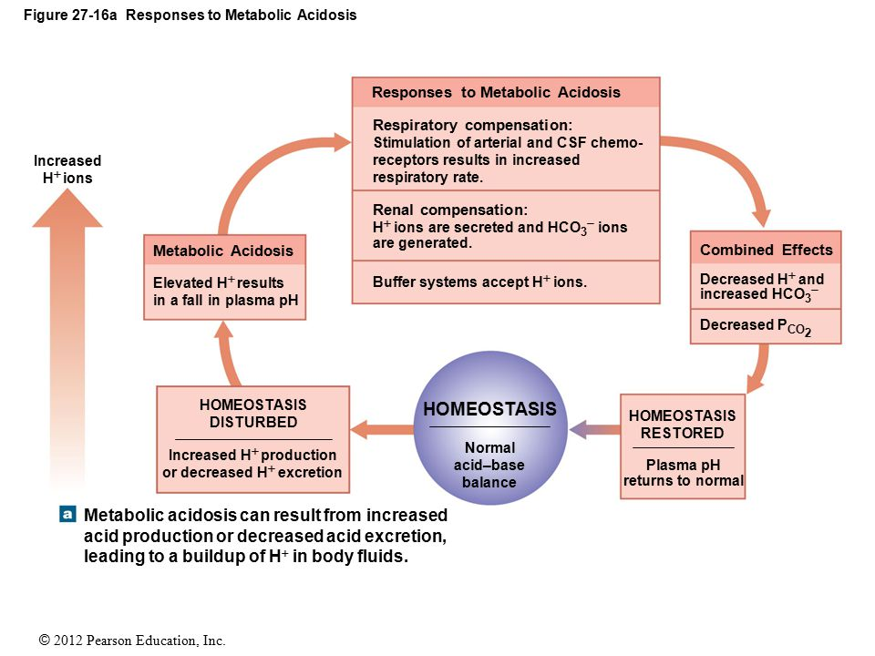 © 2012 Pearson Education, Inc. Figure 27-16a Responses to Metabolic Acidosis Responses to Metabolic Acidosis Respiratory compensation: Stimulation of