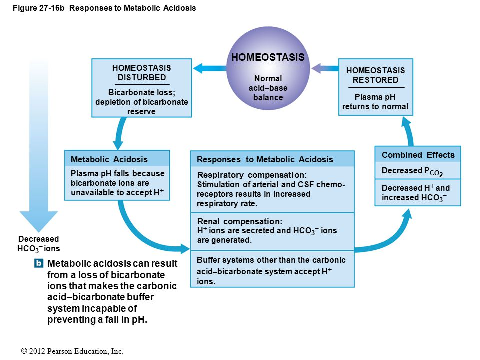 © 2012 Pearson Education, Inc. Figure 27-16b Responses to Metabolic Acidosis HOMEOSTASIS DISTURBED Bicarbonate loss; depletion of bicarbonate reserve