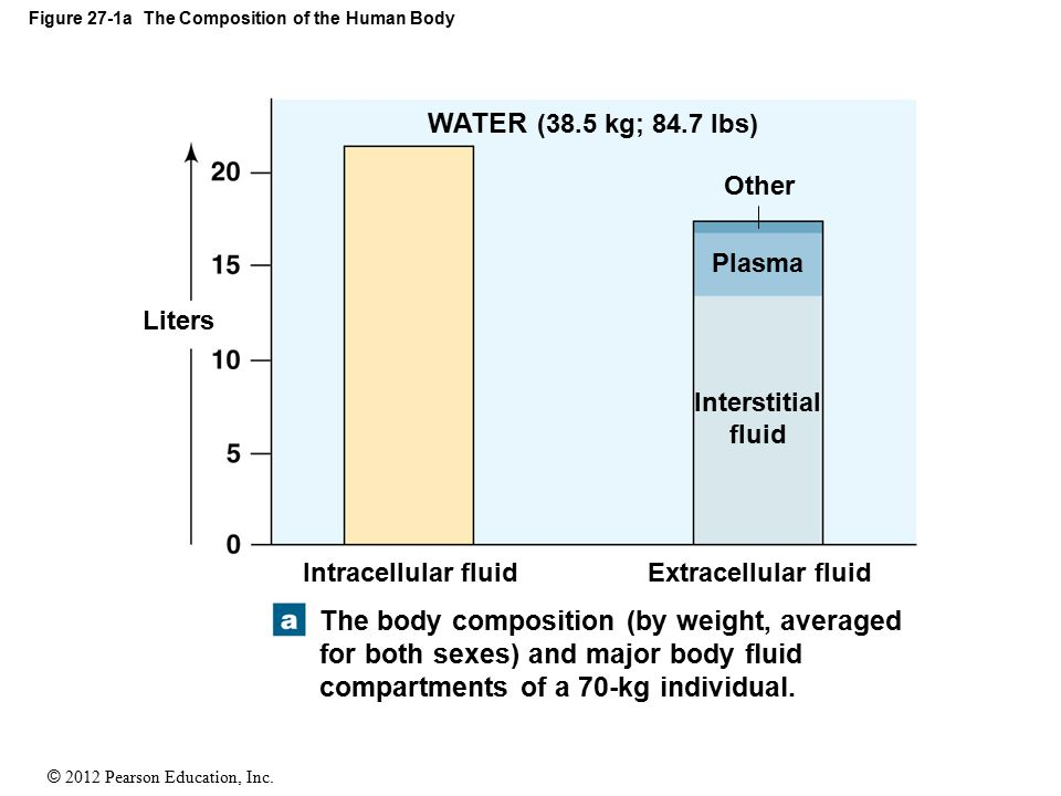 © 2012 Pearson Education, Inc. Figure 27-1a The Composition of the Human Body Liters Intracellular fluidExtracellular fluid Interstitial fluid Plasma