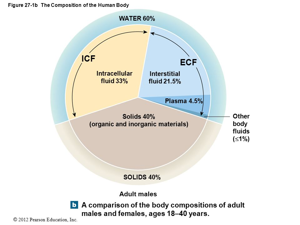 © 2012 Pearson Education, Inc. Figure 27-1b The Composition of the Human Body A comparison of the body compositions of adult males and females, ages 1