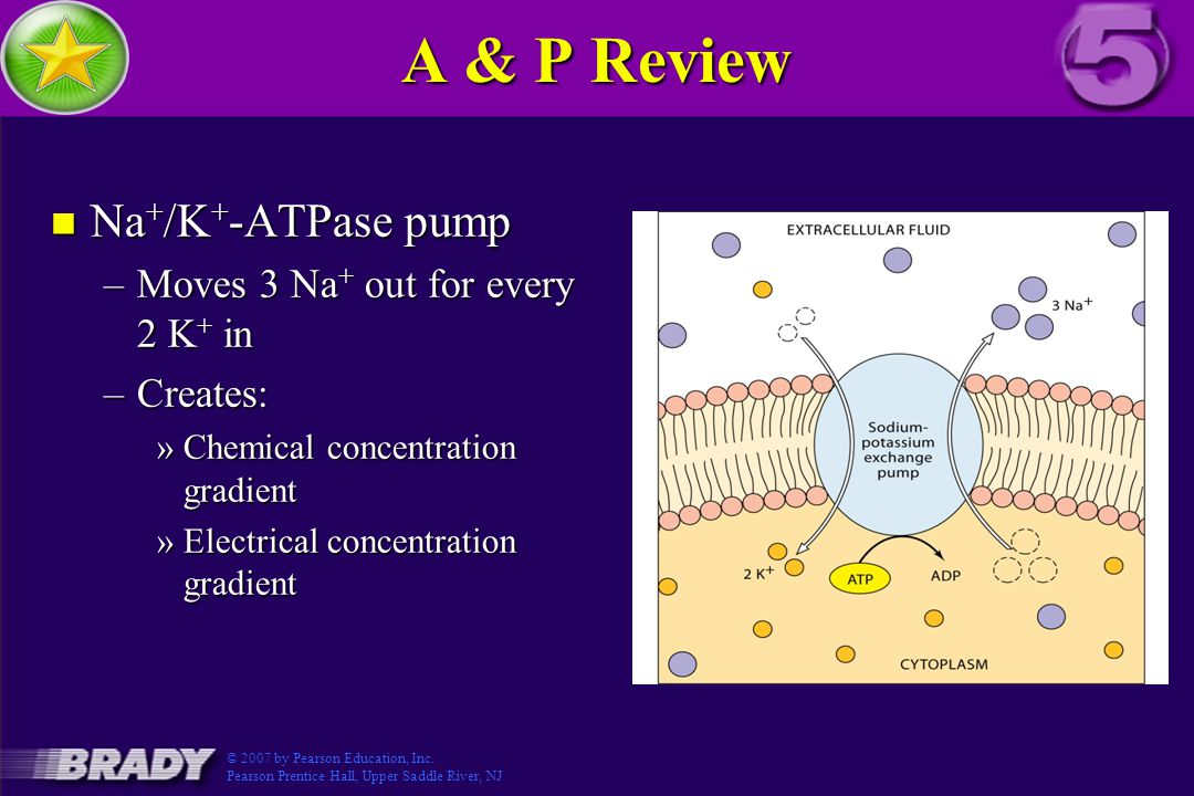 A & P Review n Na + /K + -ATPase pump –Moves 3 Na + out for every 2 K + in –Creates: »Chemical concentration gradient »Electrical concentration gradient Figure 3.5-3 © 2007 by Pearson Education, Inc.