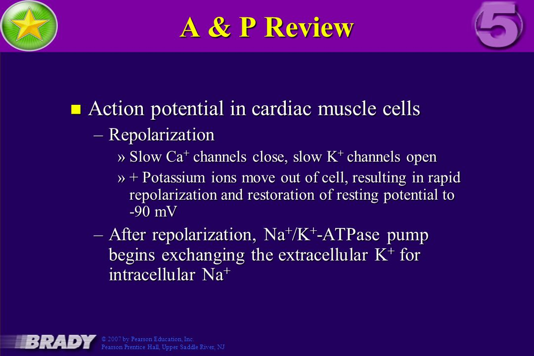 A & P Review n Action potential in cardiac muscle cells –Repolarization »Slow Ca + channels close, slow K + channels open »+ Potassium ions move out of cell, resulting in rapid repolarization and restoration of resting potential to -90 mV –After repolarization, Na + /K + -ATPase pump begins exchanging the extracellular K + for intracellular Na + © 2007 by Pearson Education, Inc.