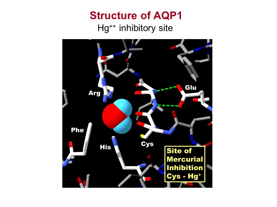 Structure of AQP1 Hg ++ inhibitory site