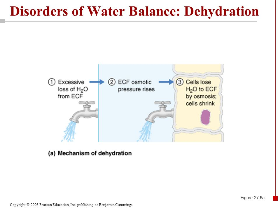 Copyright © 2003 Pearson Education, Inc. publishing as Benjamin Cummings Disorders of Water Balance: Dehydration Figure 27.6a