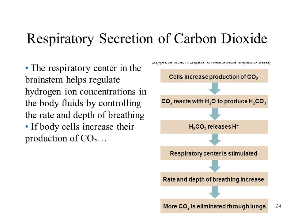 24 Respiratory Secretion of Carbon Dioxide The respiratory center in the brainstem helps regulate hydrogen ion concentrations in the body fluids by co