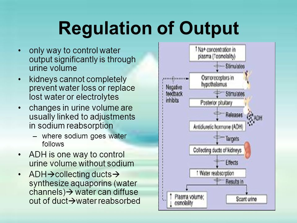Regulation of Output only way to control water output significantly is through urine volume kidneys cannot completely prevent water loss or replace lo