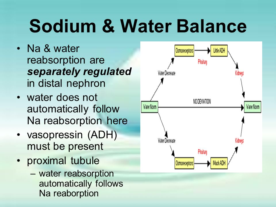 Sodium & Water Balance Na & water reabsorption are separately regulated in distal nephron water does not automatically follow Na reabsorption here vas