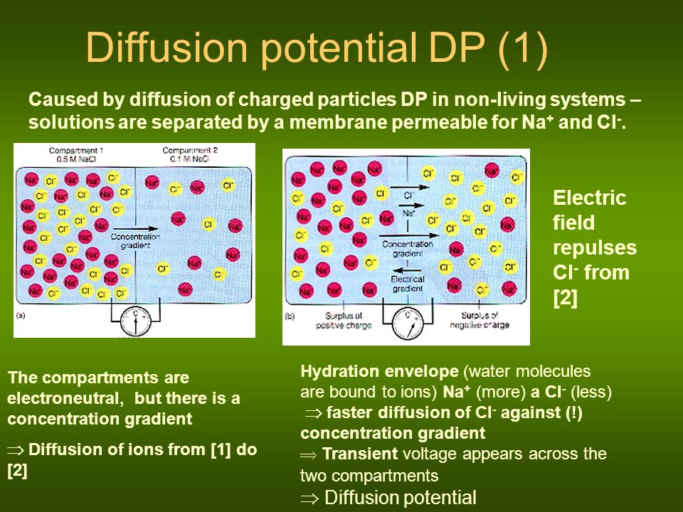 Diffusion potential DP (2) DP in living systems – the solutions are separated by a selectively permeable membrane for K +, non-permeable for pro Na + a Cl -.