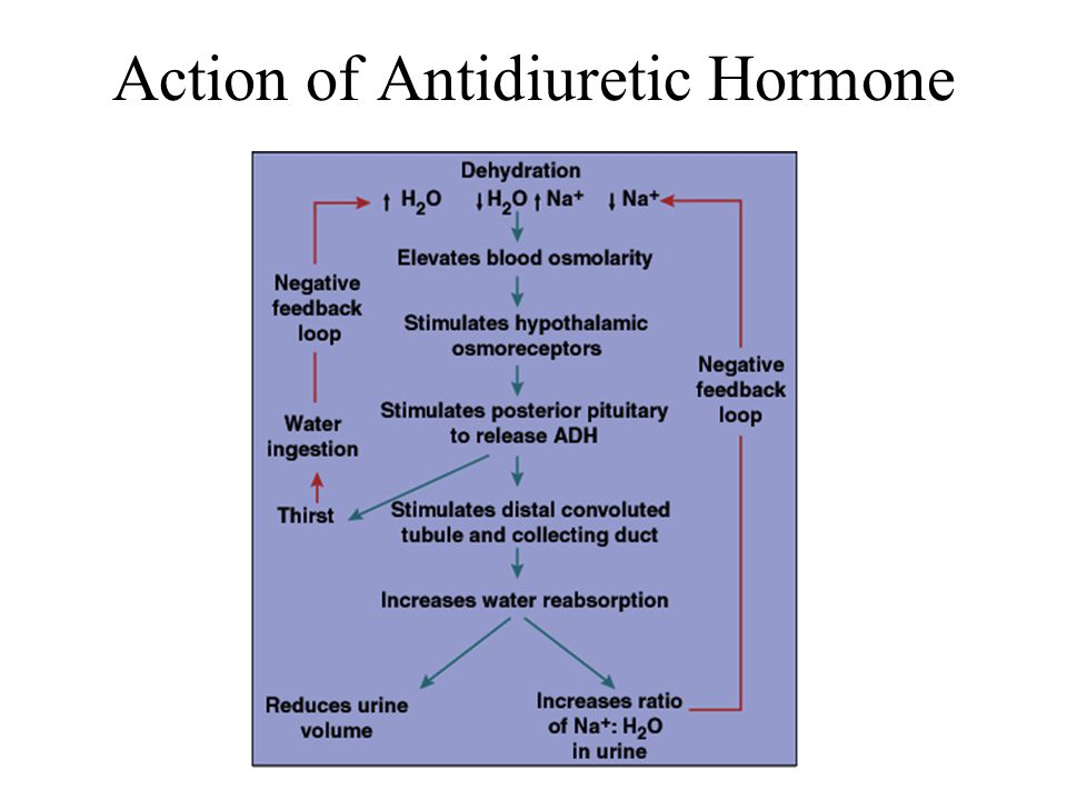 Action of Antidiuretic Hormone