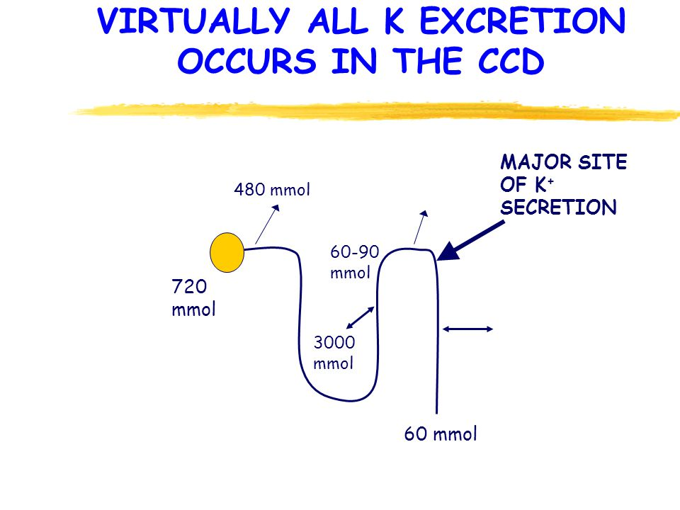 VIRTUALLY ALL K EXCRETION OCCURS IN THE CCD 720 mmol 480 mmol 60-90 mmol 3000 mmol 60 mmol MAJOR SITE OF K + SECRETION