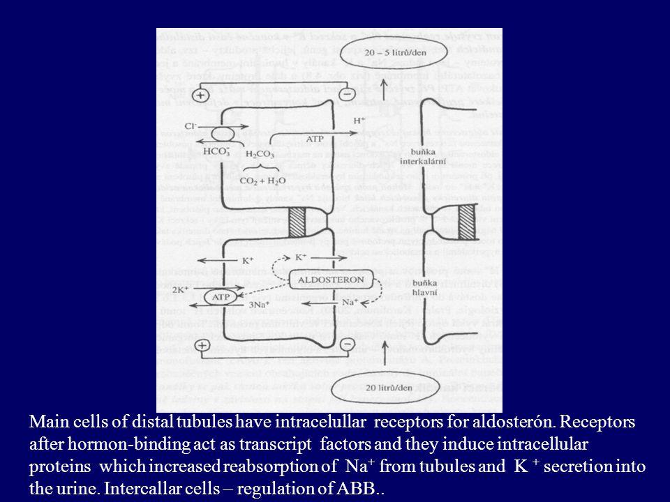 Regulation of volume and osmolarity - 4 –Renin – angiotensin – aldosteron (R-A-A) –Activation of renin secretion:  kidney perfusion (  afferentation