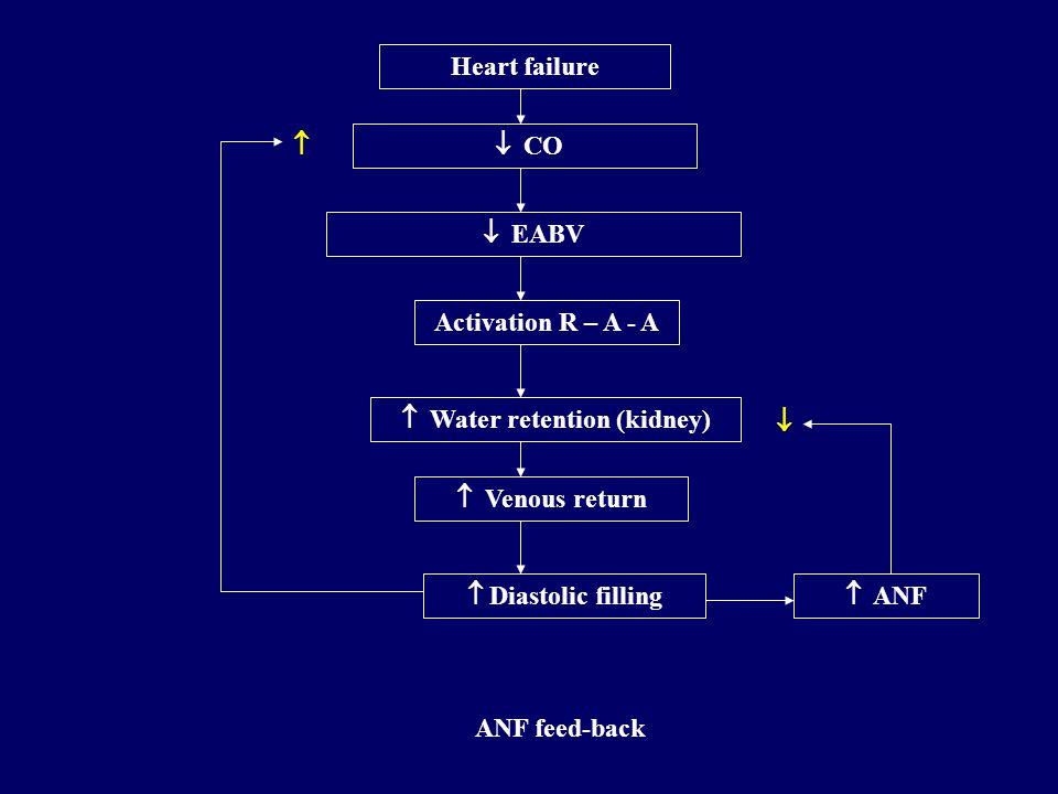Regulation of volume and osmolarity - 5 –Atrial natriuretic factor (ANF) Secretion timulus : –  atrial filling Effects: –Vessels – vasodilation of va