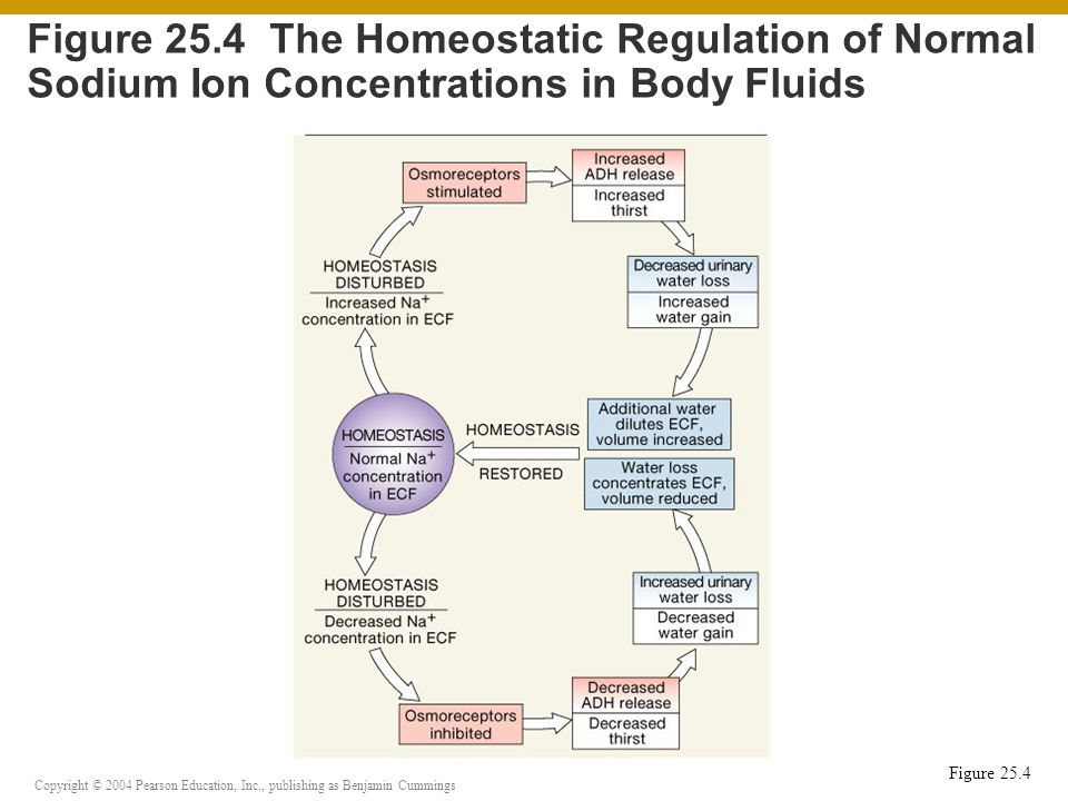 Copyright © 2004 Pearson Education, Inc., publishing as Benjamin Cummings Figure 25.4 Figure 25.4 The Homeostatic Regulation of Normal Sodium Ion Concentrations in Body Fluids