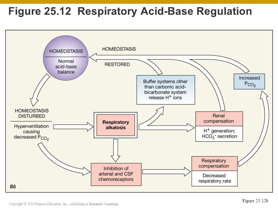 Copyright © 2004 Pearson Education, Inc., publishing as Benjamin Cummings Figure 25.12 Respiratory Acid-Base Regulation Figure 25.12b
