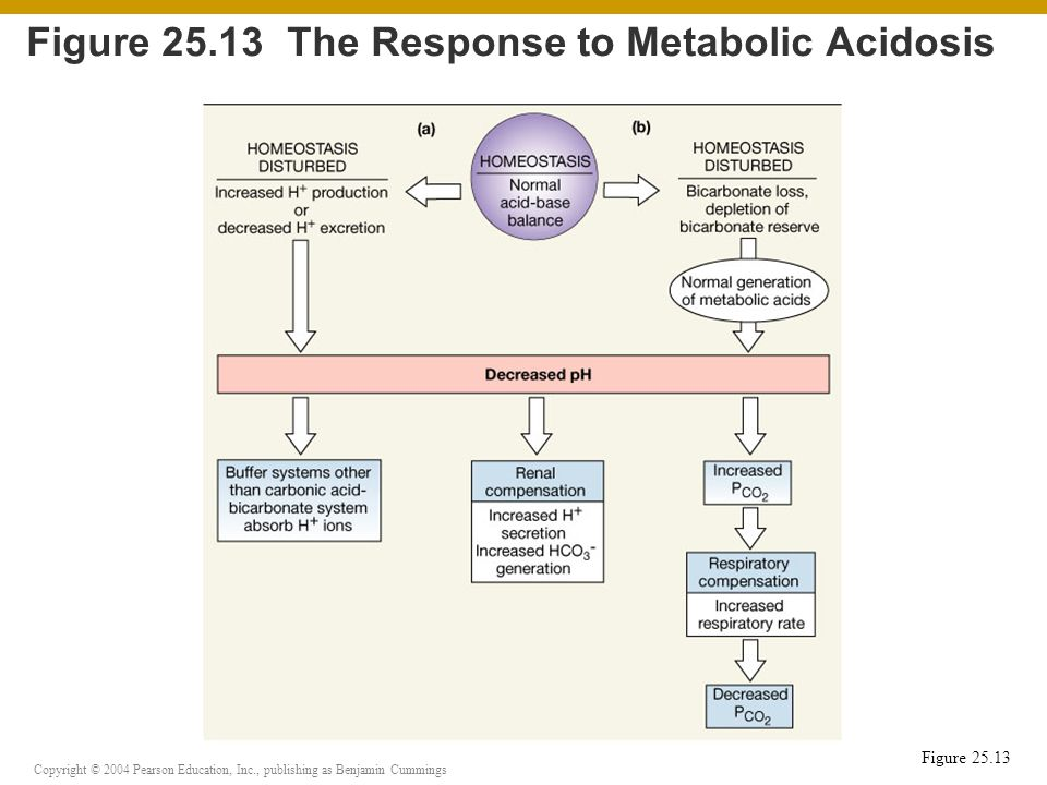 Copyright © 2004 Pearson Education, Inc., publishing as Benjamin Cummings Figure 25.13 Figure 25.13 The Response to Metabolic Acidosis