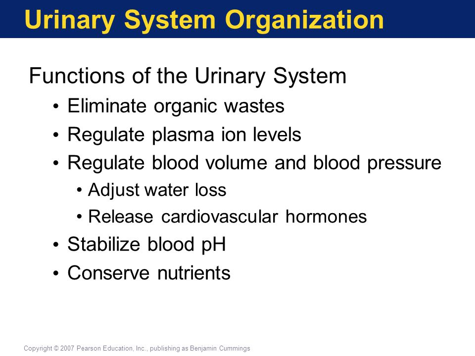 Principles of Urine Production Water Balance in the Kidney More than 99% of water is reabsorbed from the filtrate by the renal tubules Water content of normal urine ranges from 93% to 97% Copyright © 2007 Pearson Education, Inc., publishing as Benjamin Cummings
