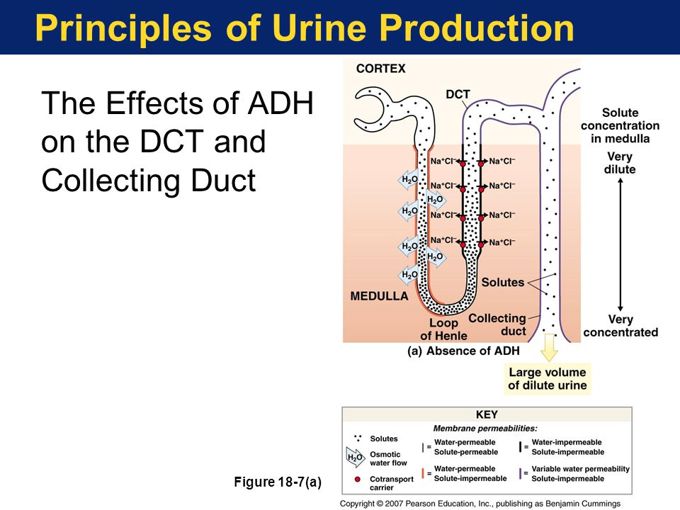 Principles of Urine Production The Effects of ADH on the DCT and Collecting Duct Figure 18-7(a)