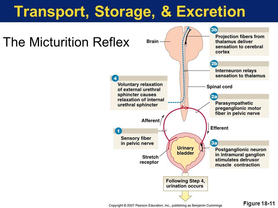 Transport, Storage, & Excretion The Micturition Reflex Figure 18-11