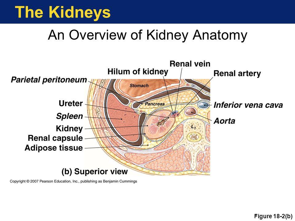 Principles of Urine Production Hormonal Control of Kidney Function Angiotensin II Aldosterone ADH Atrial natriuretic peptide (ANP) Copyright © 2007 Pearson Education, Inc., publishing as Benjamin Cummings
