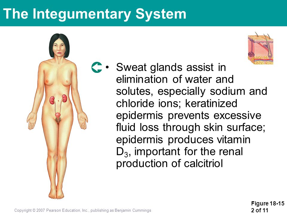 Figure 18-15 2 of 11 Copyright © 2007 Pearson Education, Inc., publishing as Benjamin Cummings Sweat glands assist in elimination of water and solutes