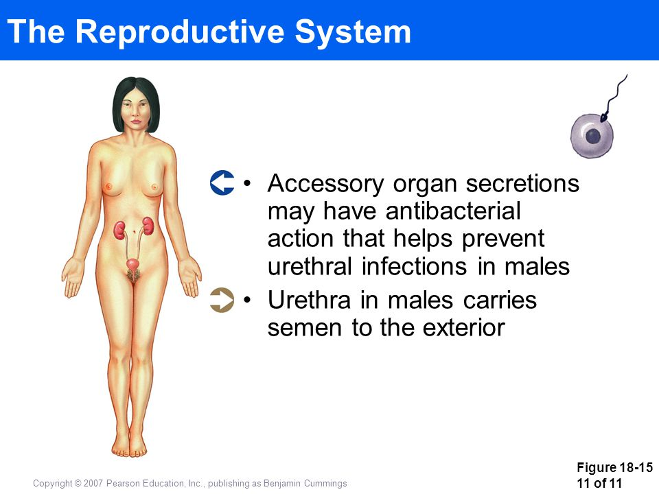 Figure 18-15 11 of 11 Copyright © 2007 Pearson Education, Inc., publishing as Benjamin Cummings The Reproductive System Accessory organ secretions may