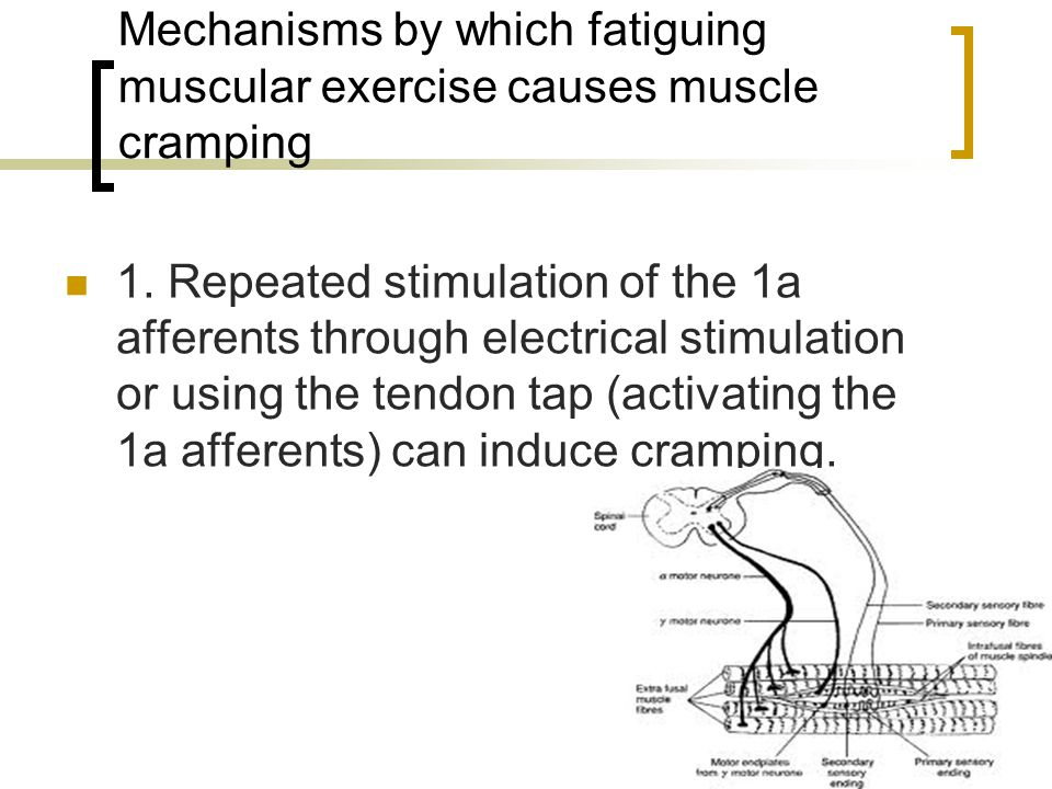Mechanisms by which fatiguing muscular exercise causes muscle cramping 1.