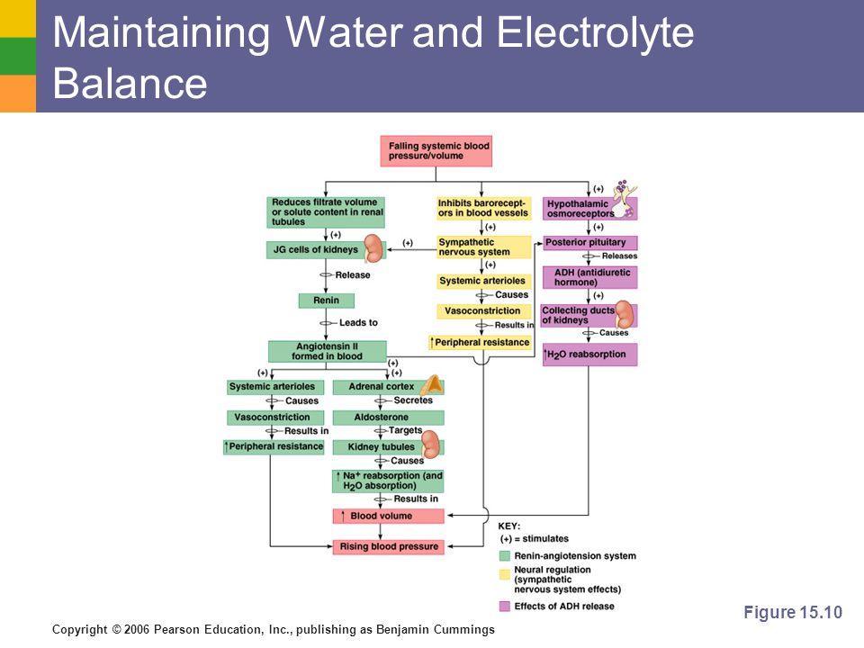 Copyright © 2006 Pearson Education, Inc., publishing as Benjamin Cummings Maintaining Water and Electrolyte Balance Figure 15.10
