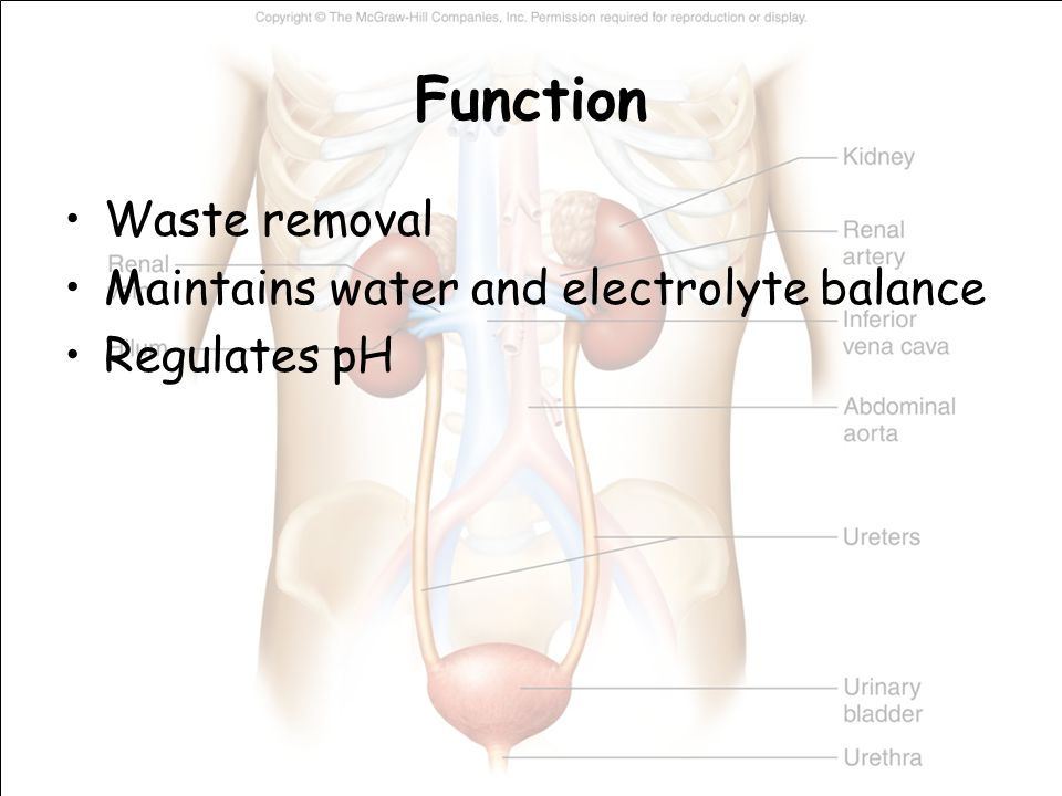 Function Waste removal Maintains water and electrolyte balance Regulates pH