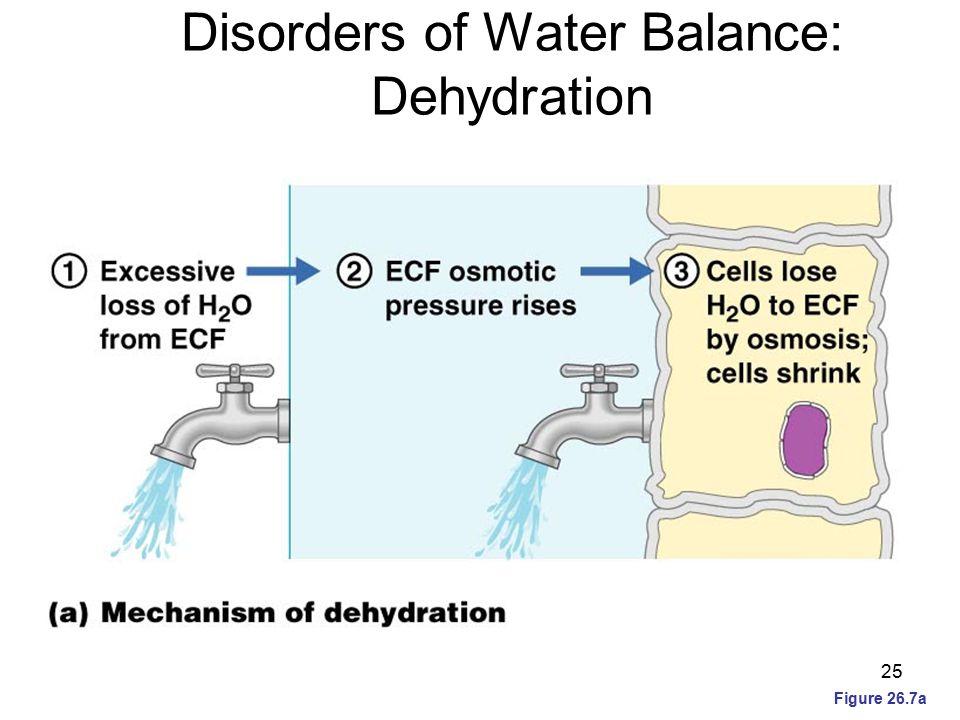 Disorders of Water Balance: Dehydration Figure 26.7a 25