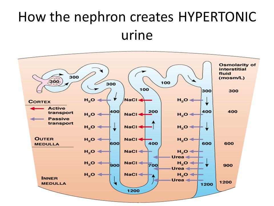 How the nephron creates HYPERTONIC urine