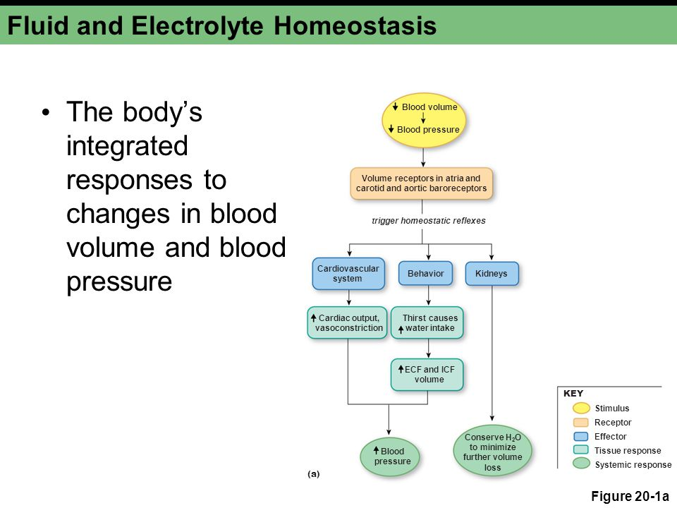 Water Balance The effect of plasma osmolarity on vasopressin secretion by the posterior pituitary Figure 20-8